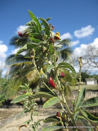 Guadeloupe plante