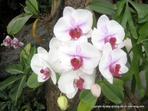 Guadeloupe orchidees deshaies