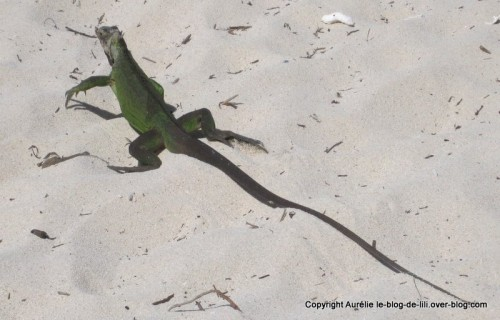Guadeloupe petite terre iguane