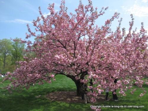 Cerisier en fleurs NY jardin botanique