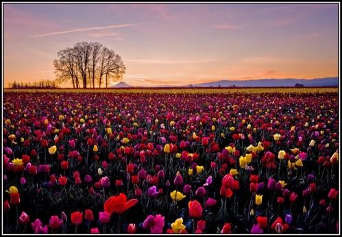 Champs-de-tulipes.jpg