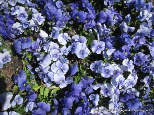 Fleurs bleues jardin botanique NYC