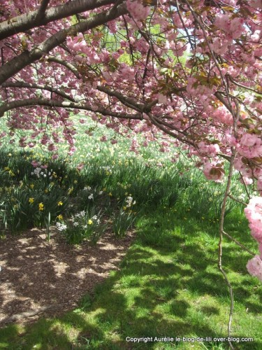 Jardin botanique jonquilles et arbre rose