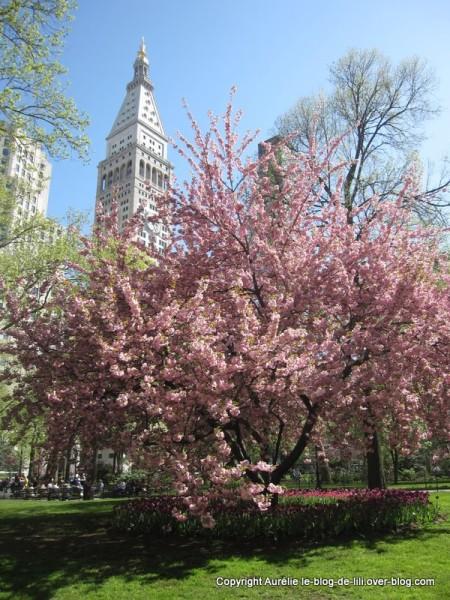 Madison square park 3 cerisiers du japon