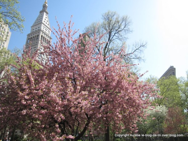 Madison-square-park--4-cerisier-en-fleurs.jpg