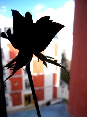 rose-rouge-saint-valentin-2011-ombre.JPG