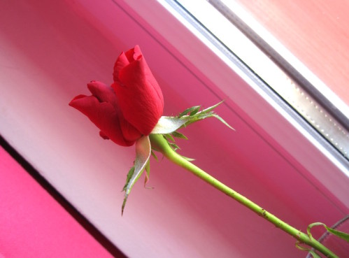 rose-rouge-saint-valentin-2011-sur-rose.JPG