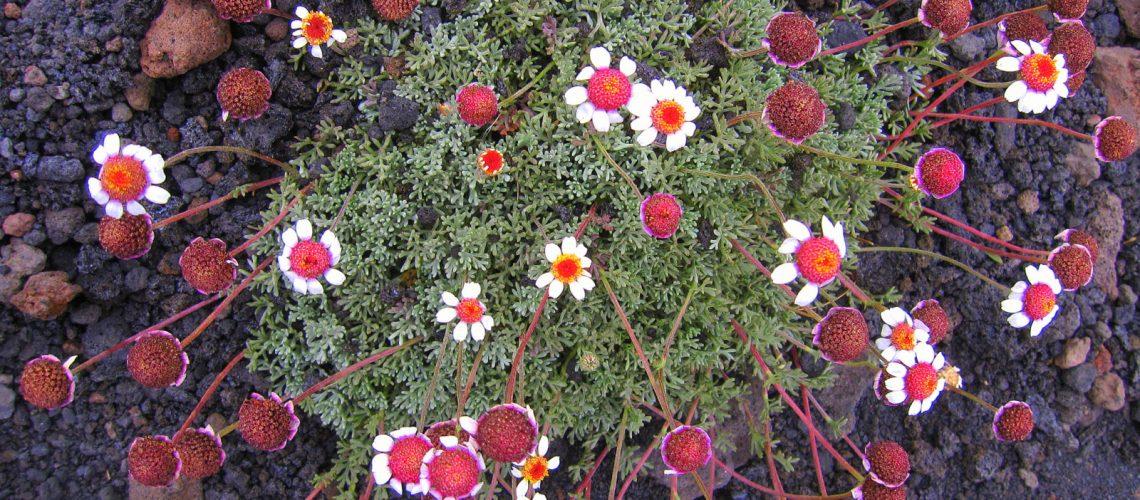Petites fleurs qui poussent sur la roche volcanique de l'Etna, en Sicile