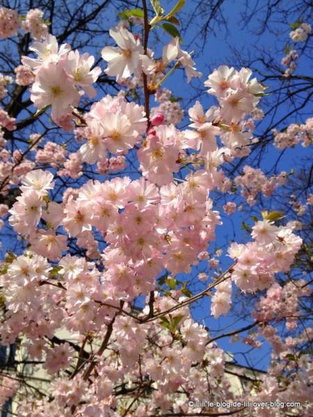 mars-Paris-arbres-en-fleurs-roses.JPG