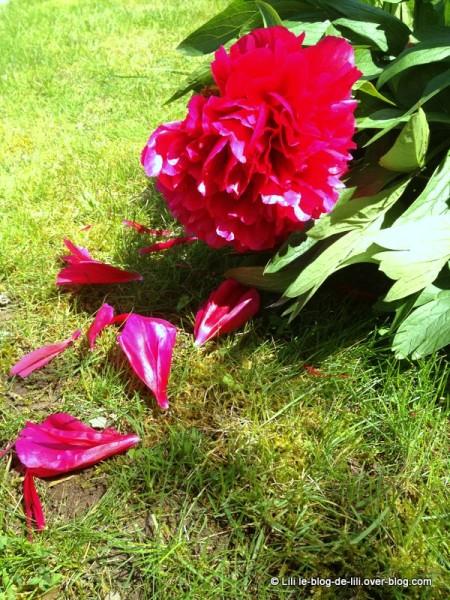 Fleur-jardin-parents.JPG