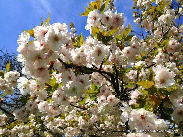 Promenade en barque sur le lac Daumesnil et près des cerisiers en fleurs