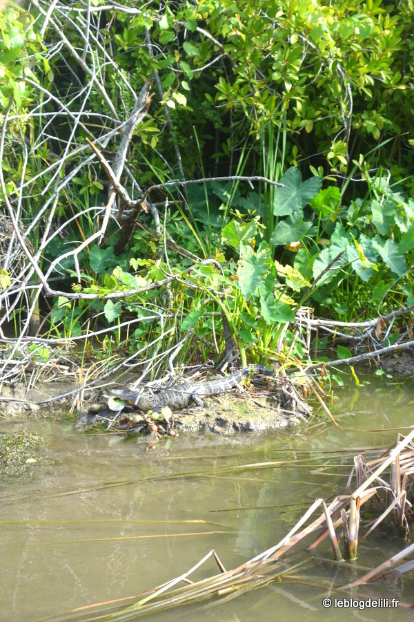 [Floride] Le parc national des Everglades : promenades au milieu des alligators
