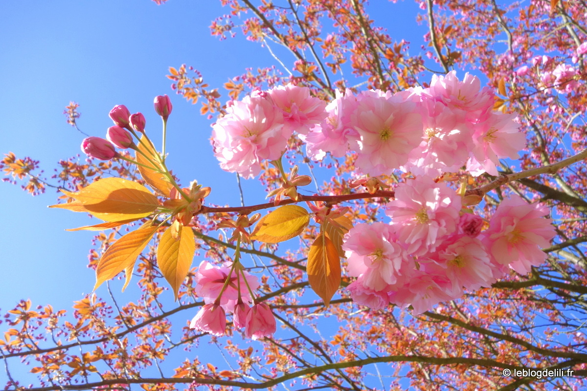 Promenade printanière et cerisiers en fleurs au parc de Sceaux