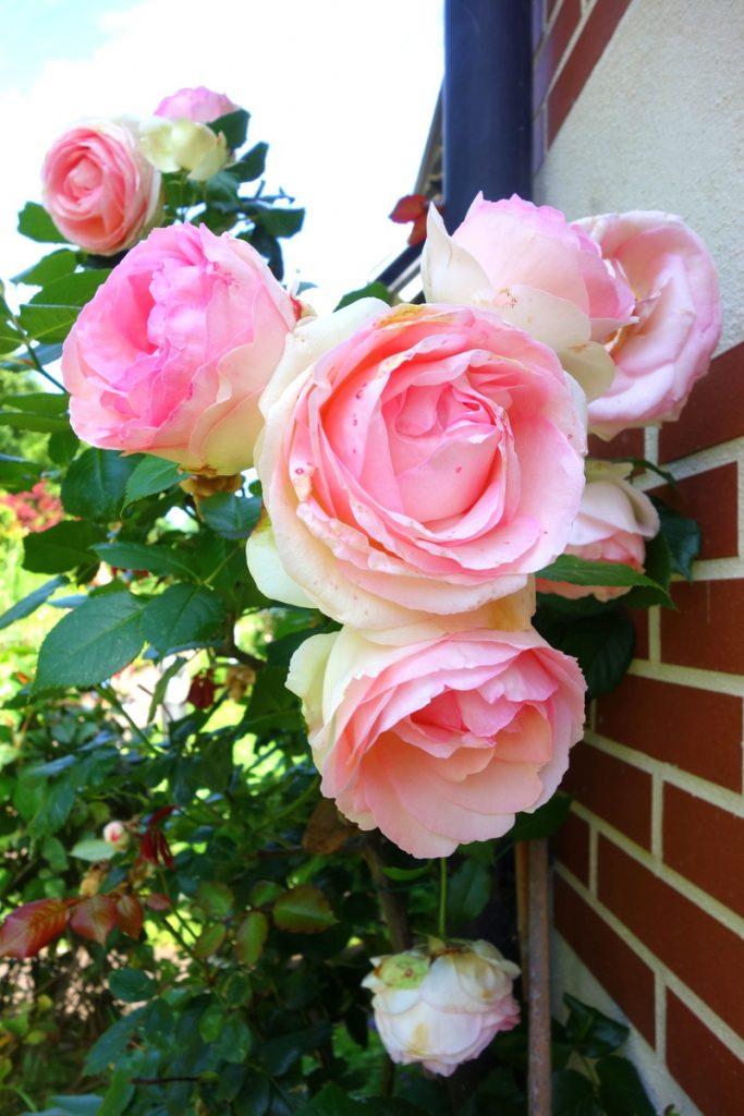 Le charme des roses pour tomber sous celui de la Normandie