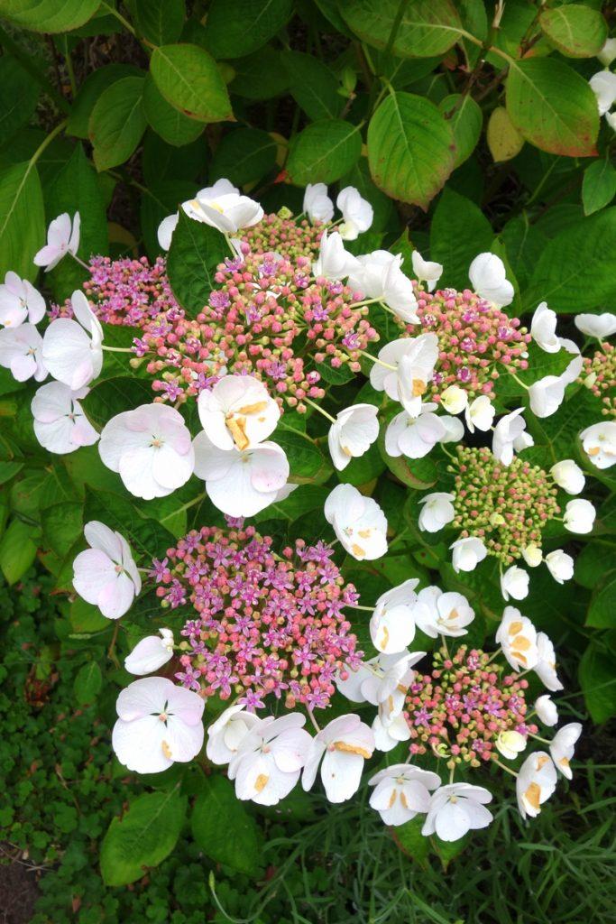 Les fleurs si typiques de Normandie