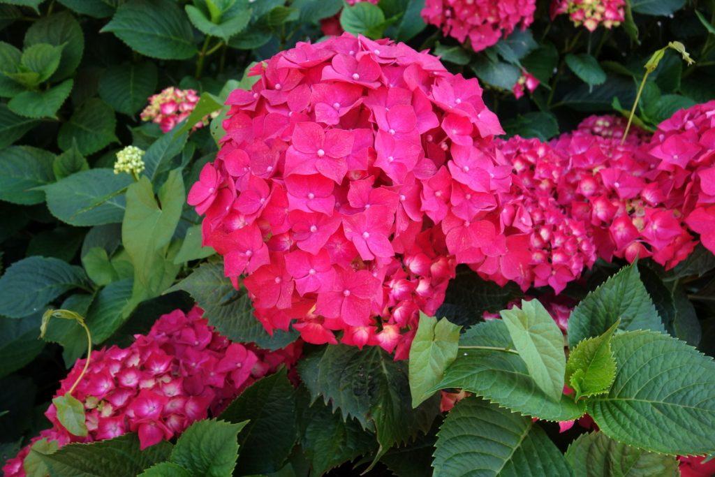 Les fleurs à Pont-L'Évêque en Normandie