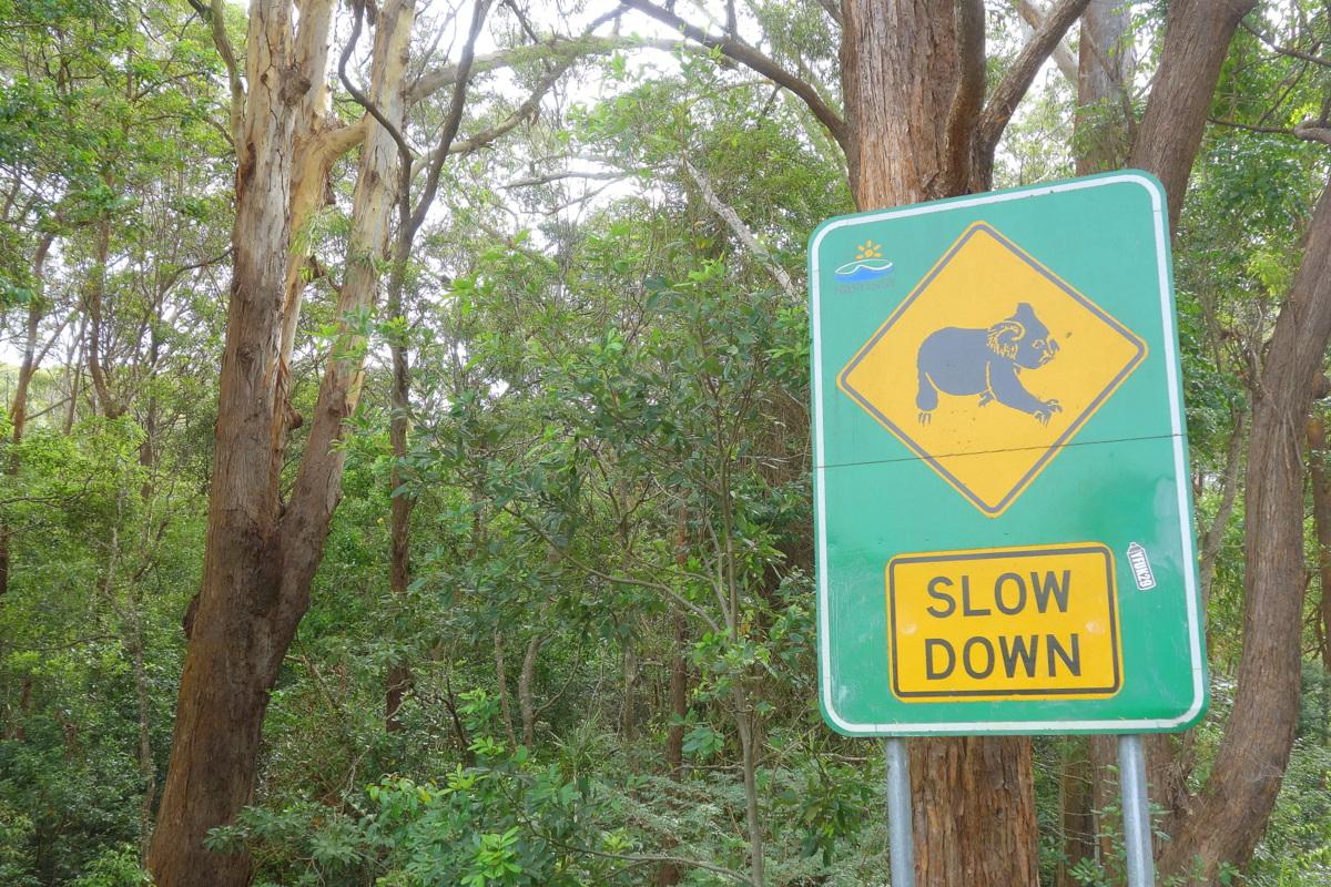 Koala hospital - Voyage en Australie
