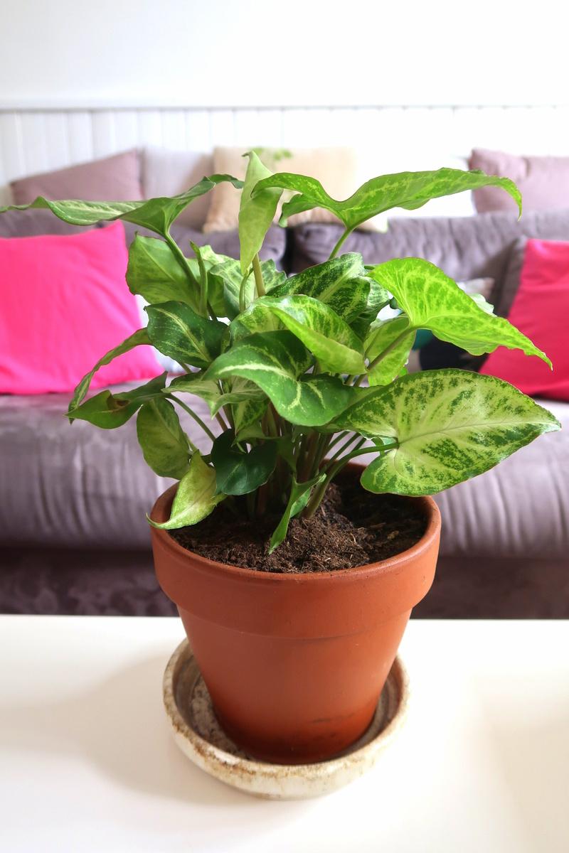 Ma plante Eukalypte